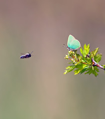 Green Hairstreak & Friend (Greenwings Wildlife Holidays) Tags: green butterfly insect bee lepidoptera hawthorn hairstreak greenhairstreak greenwings mattberry callophrysrubi butterflyconservation photocontesttnc11 greenwingsco