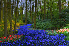 Blue Lane (Peter Femto) Tags: blue trees red green nature netherlands yellow garden landscape tulips natur pflanzen blumen colourful landschaft bume farbig hdr tulpen blten lisse grapehyacinths blhen blueriver nestingbox photomatix theworldwelivein tonemapped tonemapping hyazinthen keukenhofgardens muscarilatifolium traubenhyazinthe platinumphoto flickraward singlerawfile hollandflora nikond300 landscapesdreams gartenlandschaft nikonflickraward magicunicornverybest magicunicornmasterpiece flickraward5 naturesanct flickrawardgallery beautiflower