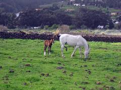 Caballos. (Jessica J,) Tags: horses nature animals caballos elpaso lapalma animalplanet