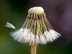 Pissenlit (Taraxacum officinale) (Ghislouer) Tags: flower nature fleur jardin sauvage floraison