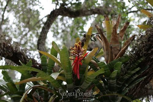 Bromeliads in the oak tree