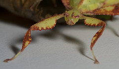 "Leaf Insect(4) • <a style=""font-size:0.8em;"" href=""http://www.flickr.com/photos/57024565@N00/4586395343/"" target=""_blank"">View on Flickr</a>"