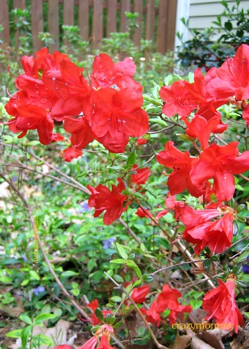Fiery Red Rhododendron