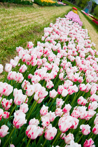 Veldheer's Tulip Farm. Holland Michigan-56