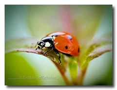Ladybug (Alhashan) Tags: favorite macro green beautiful beauty canon photo amazing perfect image gorgeous awesome award 100mm ladybug kuwait capture ibrahim imaginary kuwaiti ibraheem kuwaity     50d   flickraward  100commentgroup hashan flickraward5  alhashan  ibraheemalhashan