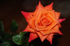 A todas as mes... To every mother... (Eduardo Amorim) Tags: brazil flower southamerica field rose brasil flor rosa campo pelotas blume fiore riograndedosul pampa champ brsil amricadosul amriquedusud sudamrica suramrica amricadelsur sdamerika costadoce americadelsud americameridionale auffangen eduardoamorim iayayam yamaiay
