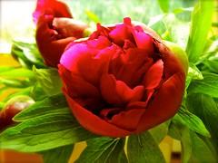Flower=花 huā
