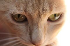 IMG_0597_1 (susonagger) Tags: orange cat gato mascota naraja