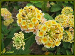 Lantana camara 'Cajun Pink' (yellow/pink flowers)