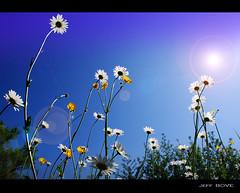marguerites et bouton d'or (Jeff BOVE) Tags: flowers light summer sun france field spring nikon buttercup daisy flickrdiamond d40x micartttt michaelchee micarttttworldphotograhpyawards