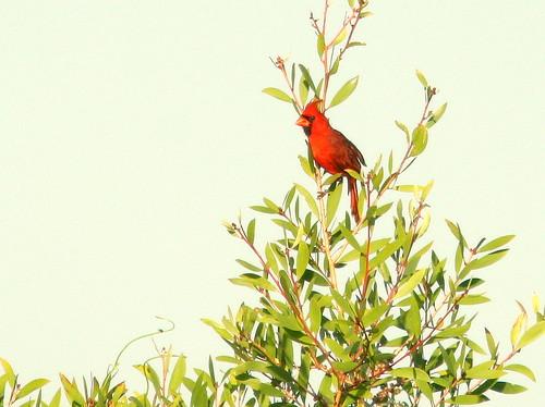 Northern Cardinal 20100524