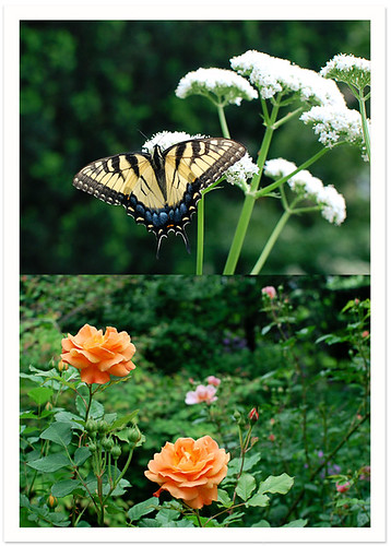 Butterfly & Rose