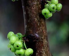 Gooseberry (Thiru Murugan) Tags: macro green fruits vegetables rain closeup fruit garden bunch gooseberry vitaminc