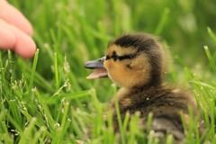 ~Precious #2~ (mikenpo) Tags: green grass duck fingers quack babyduck canon7d mikenpo