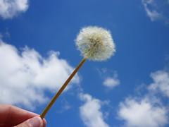 Make a wish (Pumpkin :)) Tags: blue sky dandelion seeds makeawish