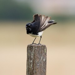 Shake Your Booty! (petefeats) Tags: nature birds australia brisbane queensland oxleycommon