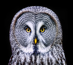 Great Grey Owl on Black (Steve Wilson - over 4 million views Thanks !!) Tags: uk portrait england black bird face up animal yellow closeup blackbackground grey zoo eyes nikon close cheshire britain background wildlife great gray beak greatgreyowl chester raptor owl d200 greatgrayowl predator captive avian captivity carnivore upton onblack on chesterzoo greyowl grayowl nikond200 caughall