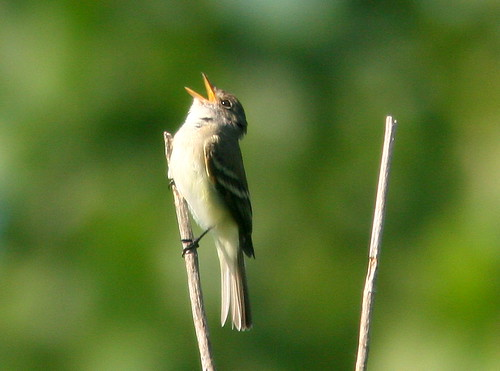 Willow Flycatcher 2-20100610