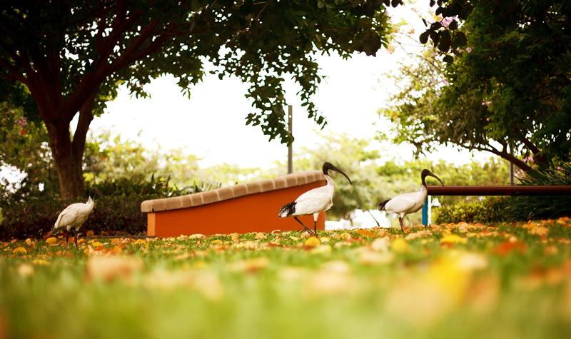 White Ibis in Townsville