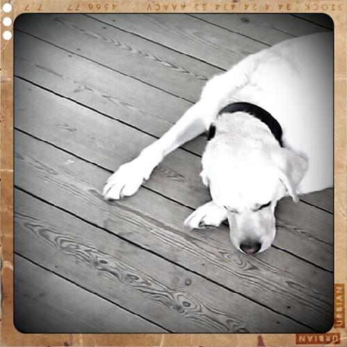 Labrador #3