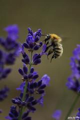 La butineuse (fabdebaz) Tags: macro juin 31 lavande printemps baziège abeille 2010 aficionados sudouest hautegaronne lauragais k10d pentaxk10d justpentax collectionnerlevivantautrement baziege