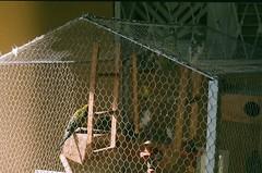 Marcela's caged. (S. E. A.) Tags: birds 35mm pássaros zenit122k 50mmlens