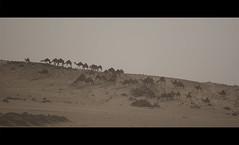 Camels (MujtabaTM) Tags: desert saudi camels makka dslra200 mujtabatm