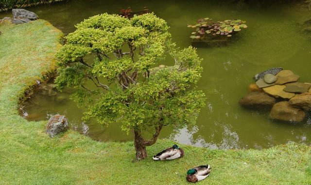 Ducks - Japanese Tea Graden