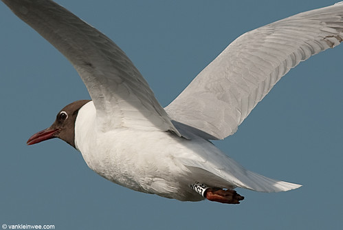 Black-headed Gull, adult, W[E5JM]