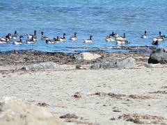 P1360008 Brant Geese (armadil) Tags: mavericks beaches californiabeaches birds waterfowl waterbirds brantgeese geese juggle062010