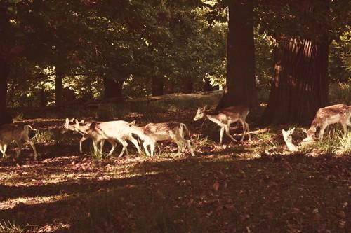 bunch of deer