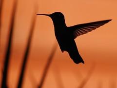 Winged Light Diffusion (joecrowaz) Tags: city wild color art nature phoenix birds animals silhouette olympus 300mm hummingbirds zuiko e500 blueribbonwinner coth bej rawdevelopment abigfave olympusmaster2 rubyphotographer ubej teracotaarizona