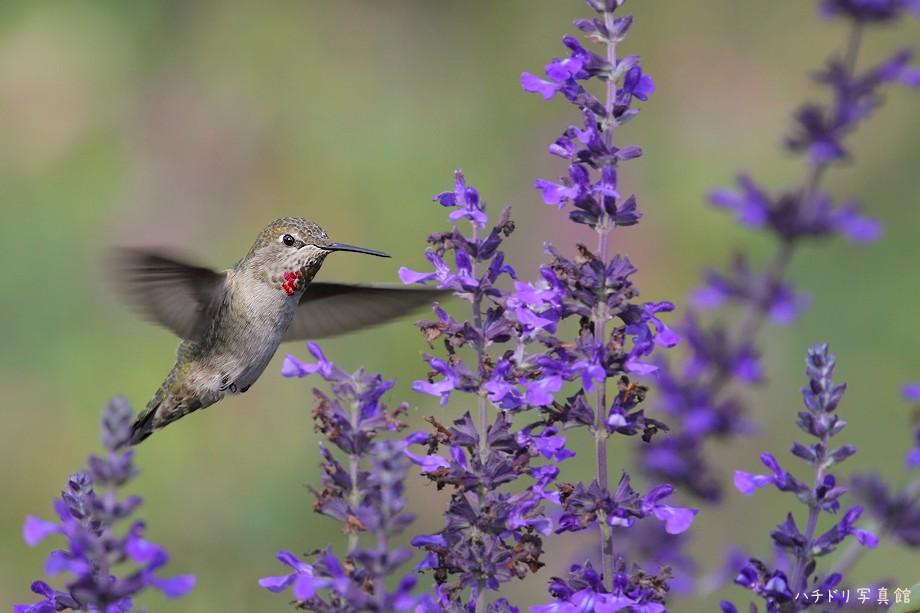 Anna's Hummingbird 110710-2