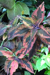 Coleus (Unknown Wizard Mix? 2010)