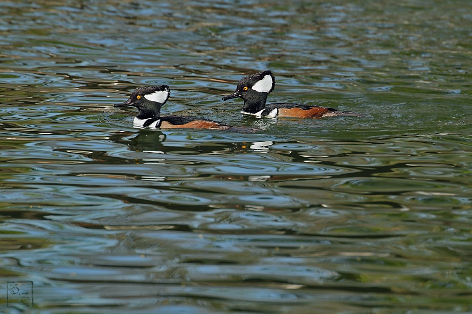 Hooded Merganser 111010-6