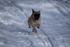 Dogs in the Snow (johnorndorff) Tags: dog christmas2016 outdoors snow penny pugsley animal
