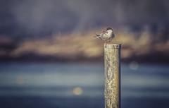 Tern (jm atkinson) Tags: tern pemaquidbeach shorebird sea coast atlantic maine bokeh texturebyjaijohnson