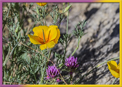 Arizona Wild Flowers (Sugardxn) Tags: garypentin sugardxn southwest photoshop picswithframes frame canon canon7d canoneos7d catalinastatepark catalina tucson arizona az nature poppy clover owlsclover californiapoppy yellow purple flower f