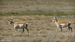 Pronghorns on the Plains_20A0904 (Alfred J. Lockwood Photography) Tags: alfredjlockwood wildlife nature mammal pronghornantelope highplains newmexico morning spring