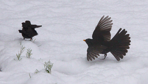 Blackbirds Arguing