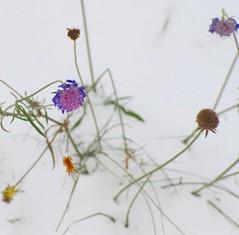 Last flowers on Explore#374 2009-12-25 (horsemanship) Tags: flowers winter snow horsemanship nikond700 urvision