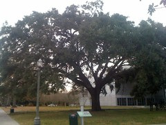 Great Southern Live Oak