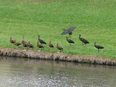 Ducks & Ibiseseses (zxgirl) Tags: bird birds duck florida ducks ibis sarasota fl fowl waterfowl s5 glossyibis anatidae anseriformes plegadisfalcinellus whistlingduck blackbelliedwhistlingduck threskiornithidae dendrocygnaautumnalis tcdc58b img4699 fl1209 sqeakyducks