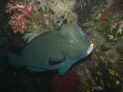 Bumphead Parrotfish at Tulamben's Liberty Wreck