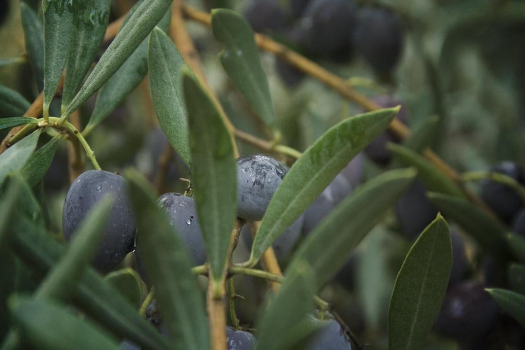 macro olives