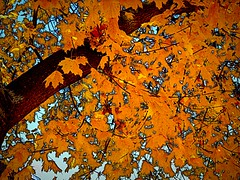 idaho leaves (msdonnalee) Tags: autumn tree fall leaves automne hojas arbol leaf oak herbst  gimp idaho treetrunk otoo fx oaktree outono plantlife botanicals digitalenhancement goldleaves embossedleaves autonno photosbydonnacleveland