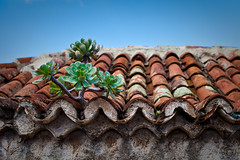 La vida,  en cualquier lugar... (Jorge Martín) Tags: life roof plant planta lapalma tejado canaryislands islascanarias 35mml14 garafía bejeque 5dmarkii
