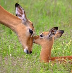 A tender moment (gerdavs) Tags: wildlife rooibok imapa bfgreatesthits knp2009
