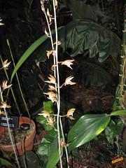 Ania penangiana - Orchidaceae - origin SE Asia mC20100112 078 (fotoproze) Tags: flowers canada flores fleurs seasia orchids quebec montreal blumen ania fiori  orchidee orqudeas bloemen orchideje kwiaty hoa orchides 2010  anggrek orchideen  loreak blm iek  blodau   orkide  jardinbotaniquedemontreal kvtiny  virgok kvety kukat cvijee montrealbotanicalgardens hoalan storczyki orchideen  orhidee  orkideer   orqudies orkideat blthanna brnugrs orhideje  orkider orkideak  orchidey    orchids  orchidek magairln  tegeirianau cvetje