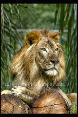Lion (zuar78) Tags: animal canon zoo lion animalplanet singa 400d zuar zuar78